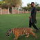 Image 8: Tinie Tempah with tiger on a lead